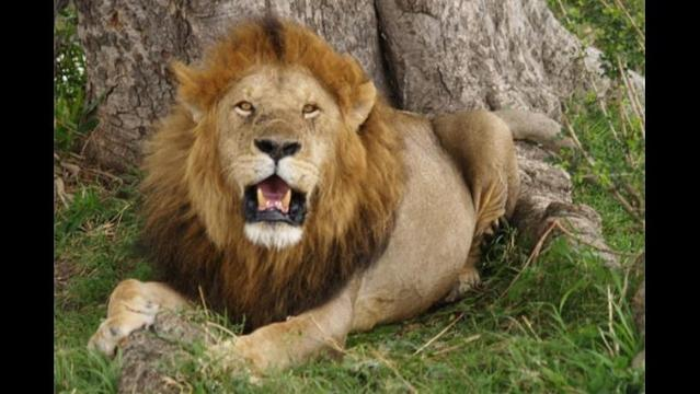 West African lions approach extinction; low numbers shock researchers